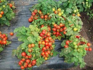 Ультраскороспелые сорта томатов для открытого грунта