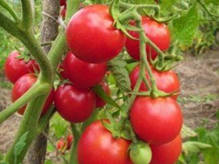 Сорта помидоров для Беларуси: описание, фото, отзывы