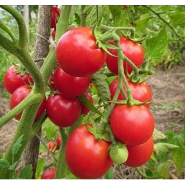 Сорта томатов для беларуси