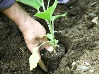 Высадка рассады баклажанов в открытый грунт