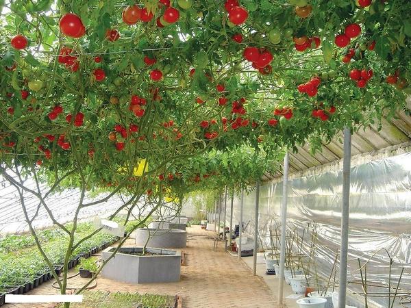 Семена томатов для теплицы из поликарбоната