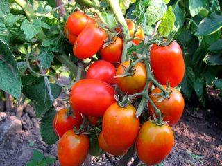 Сорта сливовидных томатов