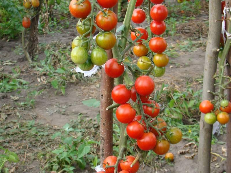 Лучшие сорта томатов черри - АгрономWiki