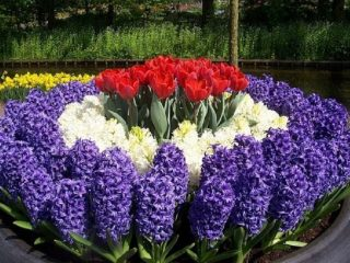 Луковичные цветы-многолетники: фото с названием
