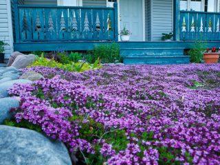 Стелющиеся цветы многолетники: фото с названием