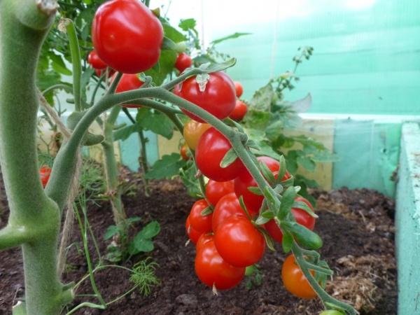 Лучшие сорта томатов черри для теплиц: описание фото, отзывы