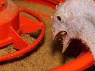 Комбикорм для индюков: состав, особенности