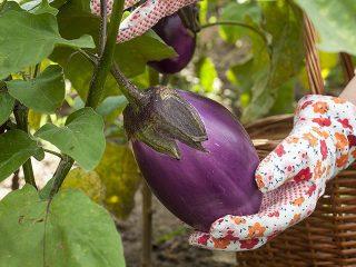Посадка баклажанов в грунт рассадой