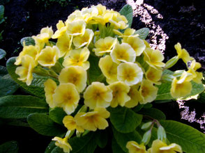 Обзор желтых многолетних цветов с фото