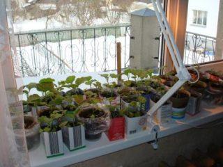 Лучшие сорта огурцов для балкона