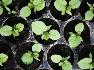 Как посадить баклажаны на рассадув 2019 году