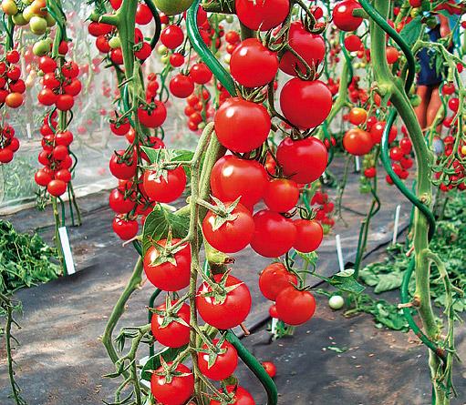 Томат Волшебный каскад F1: характеристика и описание сорта, отзывы об урожайности помидоров черри, фото куста