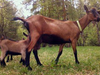 Чешская порода коз: содержание и уход