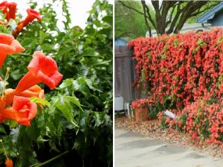 Вьющиеся многолетники, цветущие все лето