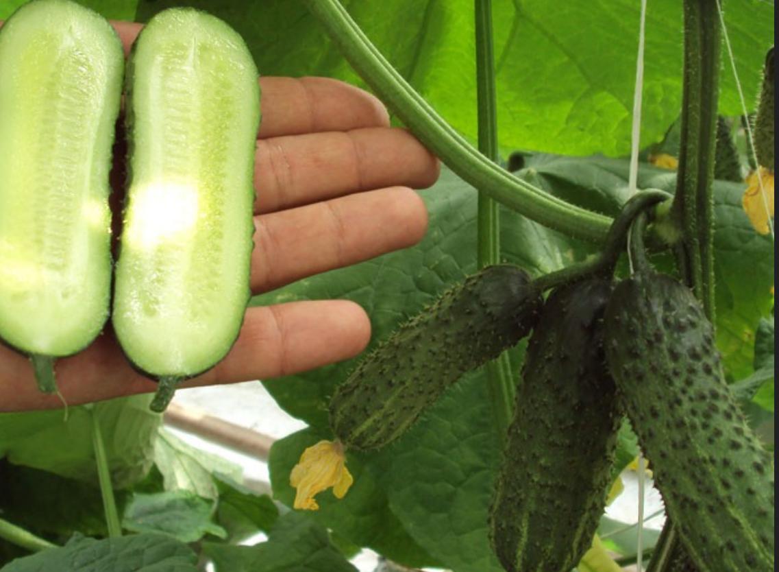 Variety of cucumbers libella: description, reviews 88