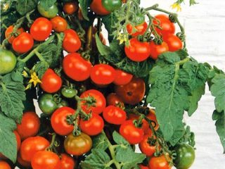 Низкорослые томаты черри