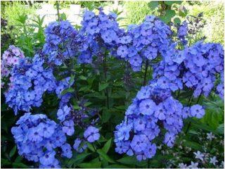 Высокорослые многолетние цветы