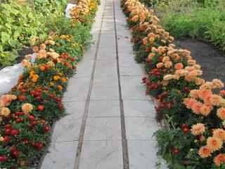 Бордюрные многолетники, цветущие все лето