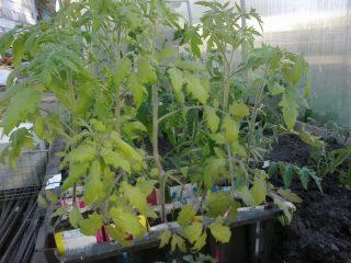 Как закалять рассаду помидор