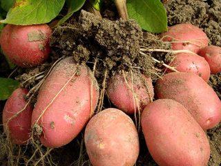Сорт картофеля Беллароза: характеристика + фото