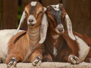 Англо-нубийская порода коз: содержание и кормление