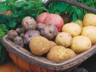 Самые урожайные сорта картофеля для Подмосковья