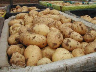Сорт картофеля Гала: характеристика, отзывы