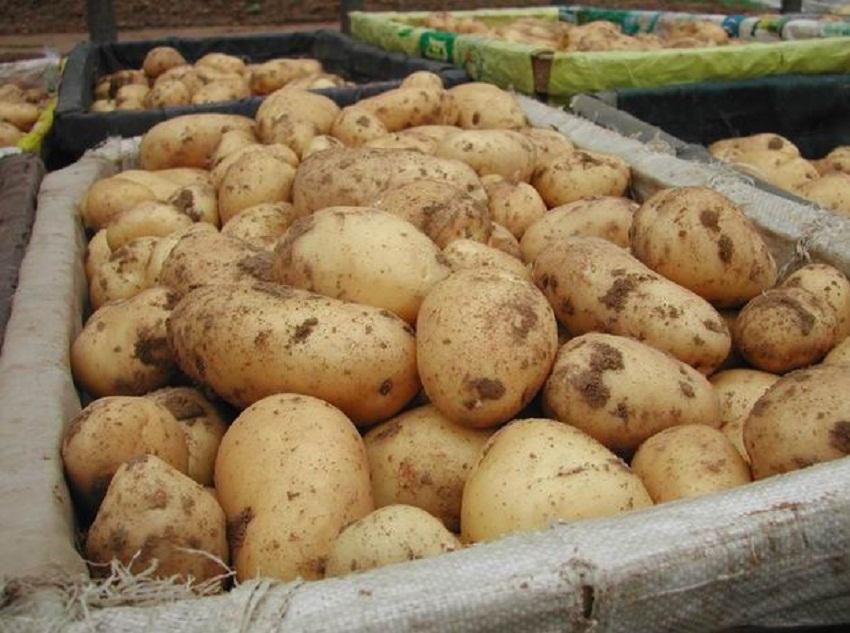 Картошка сорт гала вкусовые качества