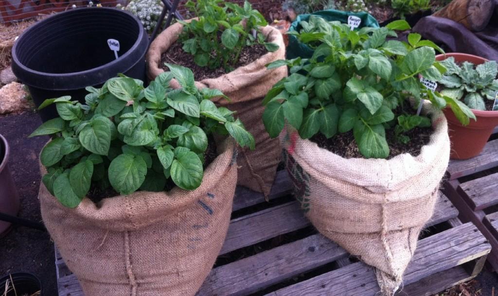 Посадка картофеля в мешках рекомендации и советы