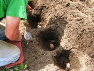 Расстояние между рядами при посадке картофеля