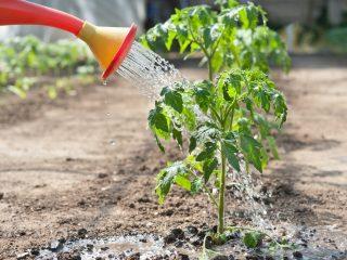 Полив рассады помидоров