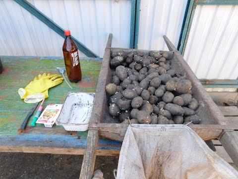 Правила обработки картошки перед посадкой
