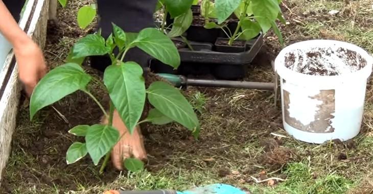 Перец посадка семян в открытый грунт