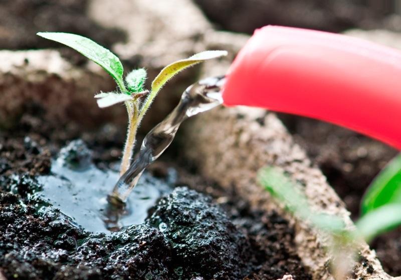 Как удобрять рассаду помидоров 388