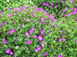 Долгоцветущие многолетники для сада + фото с названиями