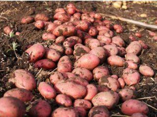 Самые урожайные сорта картофеля для средней полосыРоссии