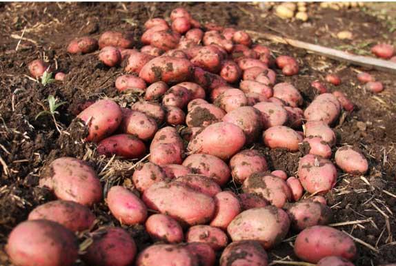 Десятка лучших сортов картофеля