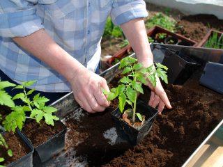 Как правильно сажать помидоры на рассаду