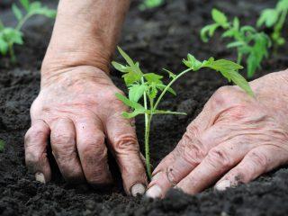 Сроки высадки рассады помидоров в открытый грунт
