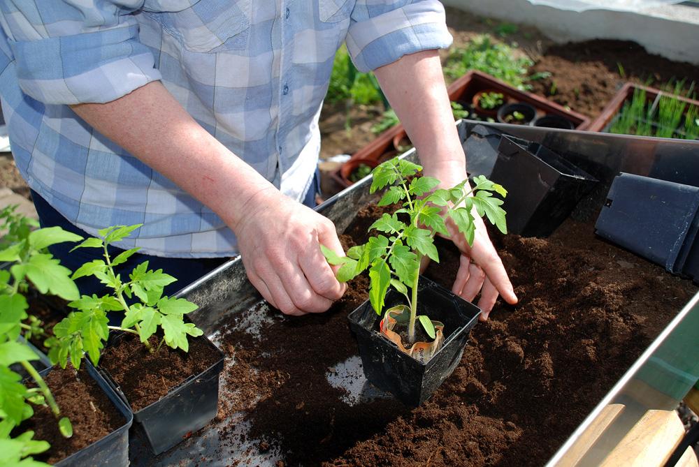 Как и когда сажать помидоры на рассаду в грунт 300