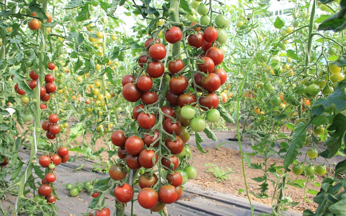 Лучшие сорта кистевых томатов для теплиц