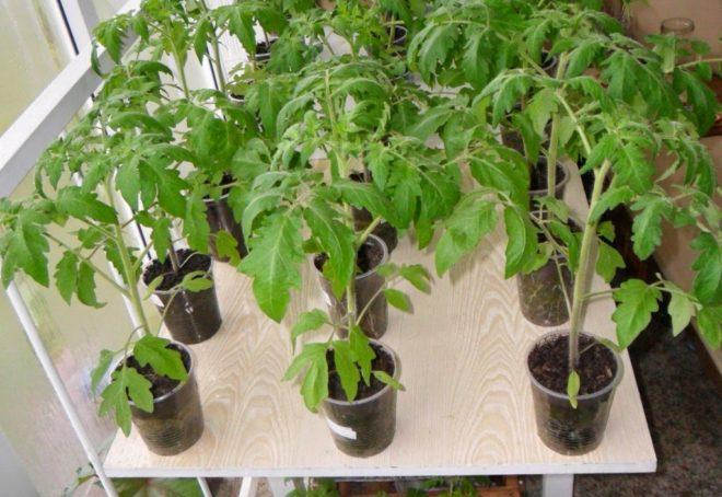 Как ускорить рост рассады помидоров
