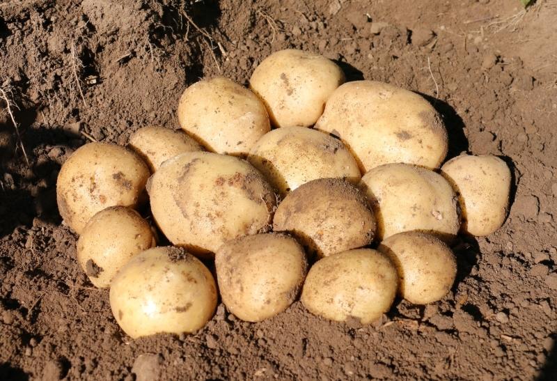 Картофель сифра описание сорта