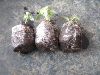 Выращивание рассады помидор без пикировки