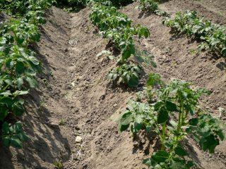 Посадка картофеля гребневым способом