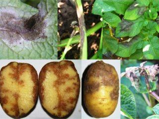 Борьба с фитофторозом картофеля