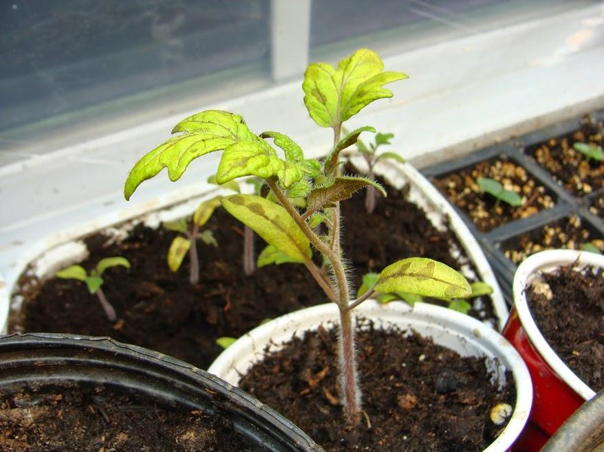 Рассада помидор : почему желтеют листья и плохо растёт, что делать