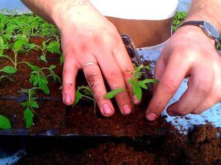 Когда сеять томаты на рассаду по лунному календарю в 2019 году