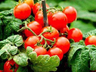 Помидоры черри: выращивание рассады в домашних условиях + фото
