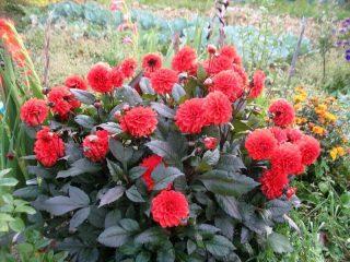 Сорта низкорослых георгинов: выращивание и уход